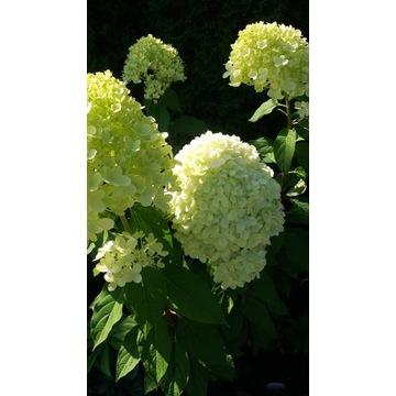 Hortensja Hydragea Paniculata limelight 5l