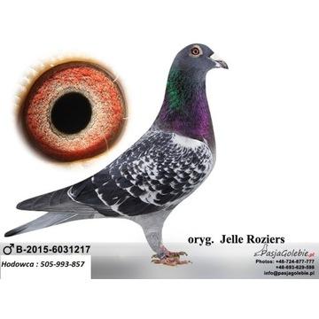 Gołąb, oryginał Jelle Roziers linia Houben