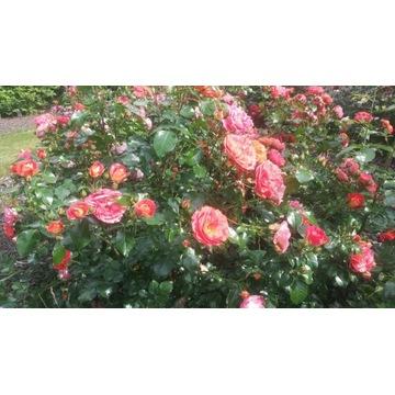 róża  pomarańczowa  rabatowa 60 cm Producent!!!!