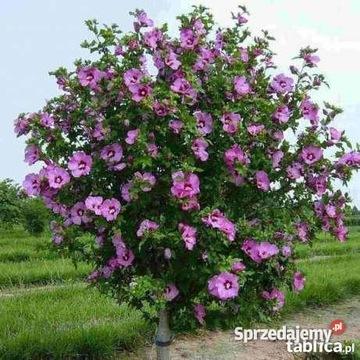Nasiona Hibiskusa