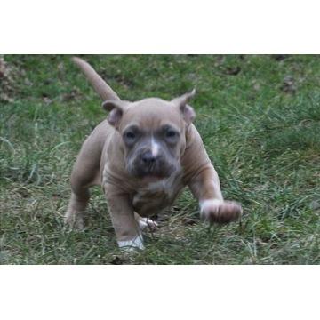 Amstaff/Szczenięta/American Staffordshire Terrier