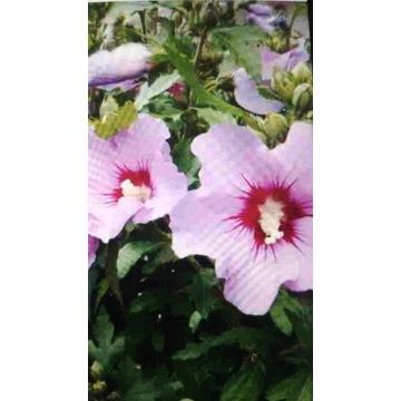 Hibiskus - ketmia syryjska - krzew ogrodowy