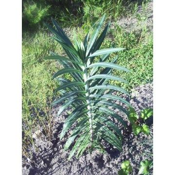 Wilczomlecz groszkowy (Euphorbia Lathyris)antykret