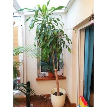 Reprezentatywna Palma Dracena ponad 250 cm