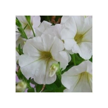Biała surfinia ZWISAJĄCA - dywan kwiatów!