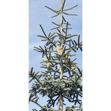 Nasiona jodły marokańskiej ( hiszpańskiej )