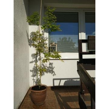 Klon Palmowy Aureum, ca 160 cm Real Foto