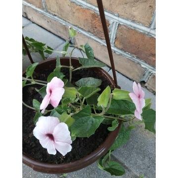 Tunbergia Rose Sensation