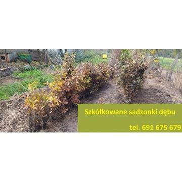 Szkółkowane sadzonki drzewek dębu