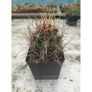 Kaktusy Thelocactus bicolor
