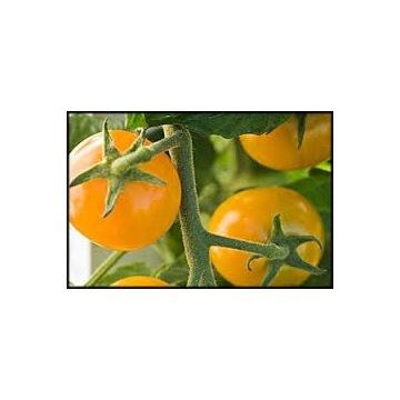 Pomidor ZŁOTY OŻAROWSKI- sadzonki doniczkowe