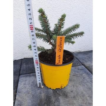 Świerk waldbrunn 0.9litra doniczka krzew tuja