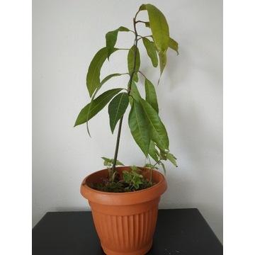 Drzewko mangowe II.