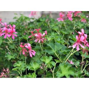 Pelargonia różowa duża sadzonka