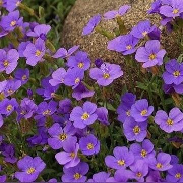 Żagwin ogrodowy niebieski    blaumeise    Sadzonki