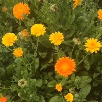 Nagietek lekarski kwiat świeży porcja 30 sztuk