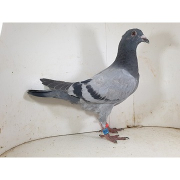 Młody Prange x Braverherth 1340 gołąb gołębie pocz