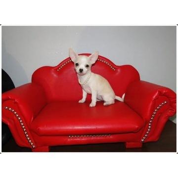 Chihuahua śliczna kremowa suczka