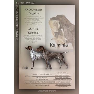 Sprzedam szczeniaki wyżeł niemiecki krótkowłosy Ka