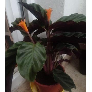 Kalatea (calathea crocata) tasmanska