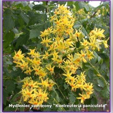 """Mydleniec czerwony """"Koelreuteria paniculata"""""""