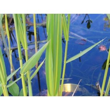 Trzcina kolorowa, sadzonki, na oczko wodne
