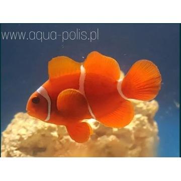 Premnas biaculeatus akwarystyka morska