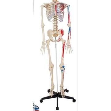 szkielet człowieka na stojaku  174 cm