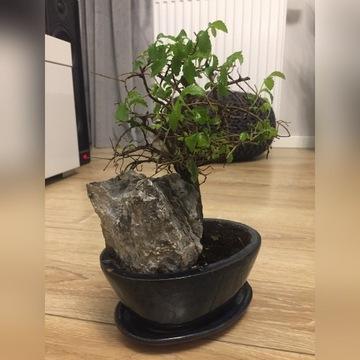 Drzewko bonsai roślina doniczkowa kwiat
