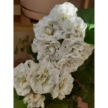 Pelargonia bluszczolistna Ice Rose