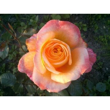 róża pomarańczowo czerwona  80 cm Producent!!!!