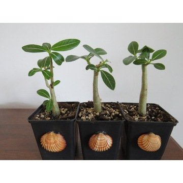 Adenium mix sadzonka miniBaobab + muszla GRATIS