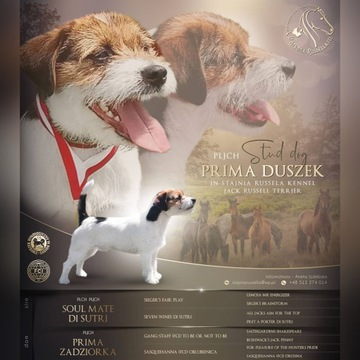 Reproduktor Jack Russell Terrier