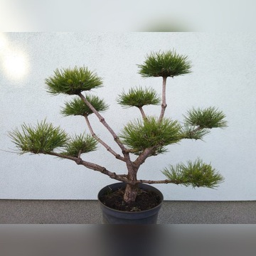 Drzewko bonsai, niwaki, sosna.