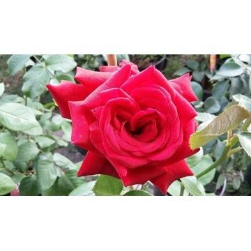 róża  czerwona  80 cm Producent!!!!
