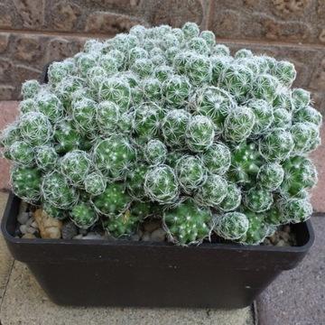Kaktus Mammillaria gracilis (film na YouTube) DUŻY