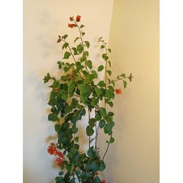 Bougenvilla różowo pomarańczowa 210 cm bugenwila