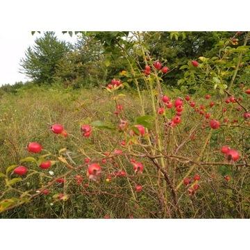 Dzika róża owoce świeże