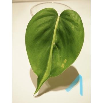 Philodendron Cream Splash / TriColor
