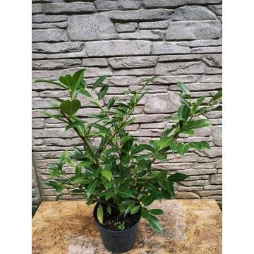 Laurowiśnia Prunus laurocerasus na żywopłot