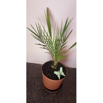 Palma daktylowa - 50 cm