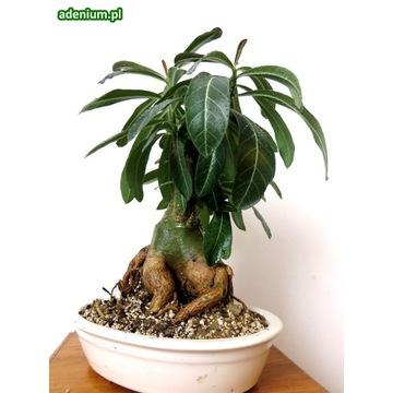 Adenium Somalense miniBaobab Drzewko Bonsai
