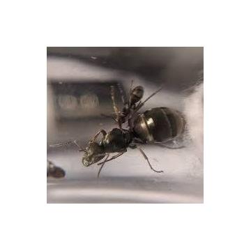 Mrówki Formica cinerea Q + 2-5robo