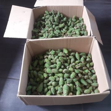 Młode zielone szyszki sosny. 1000 gr