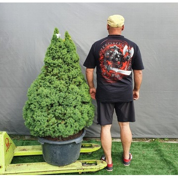 świerk konica conica Picea glauca 180cm Mega duży