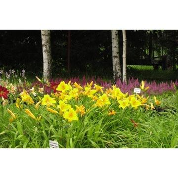 Liliowce różne odmiany -wieloletnie