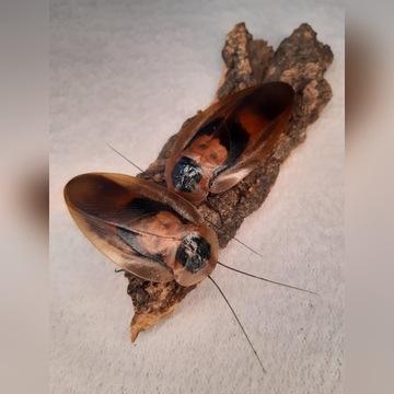 Karaczan Brazylijski (Blaberus craniifer)