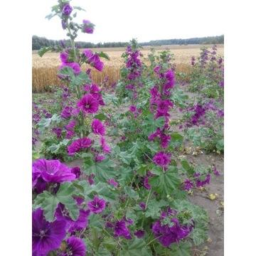 Ślaz dziki, Malwa, sylvestris, nasiona 10g tanio (