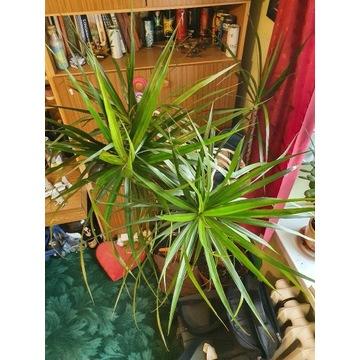 Dracena wąskolistna 190 cm roślina duża