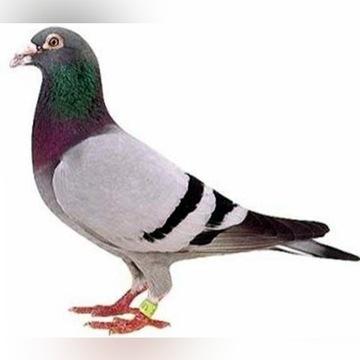Sprzedam gołębie pocztowe 20/25zł sztuka